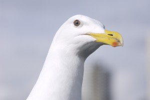 SeaGullHg